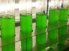 Kulturen Cyanobakterien