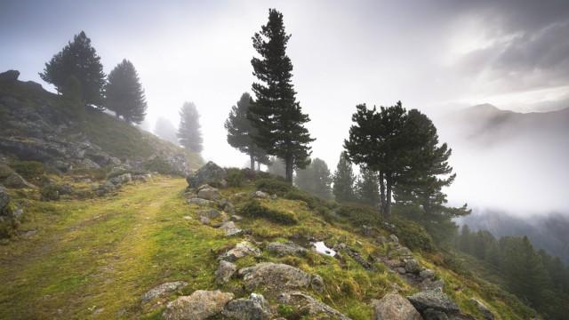 Bewachsener Weg auf alpiner Hochalm Juifenalm hinten Zirbelkiefern Pinus cembra Bergwald in Neb