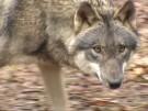 Abschuss von Wölfen soll künftig einfacher werden (Vorschaubild)