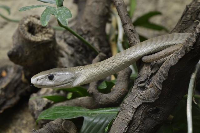Schwarze Mamba Dendroaspis polylepis Giftschlange capitve Vorkommen in Afrika mcpins mcpins