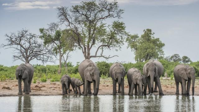 Afrikanische Elefanten Loxodonta africana Herde mit Jungtieren trinkt an einem Wasserloch Savut