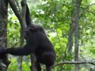 Schimpansen knacken Schildkröten (Vorschaubild)