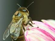 Biene mit Mikrochip