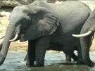 Botswana erlaubt wieder Jagd auf Elefanten (Vorschaubild)