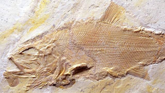 Dicke Schuppen, große Zähne: Fossilien neuer Raubfische entdeckt