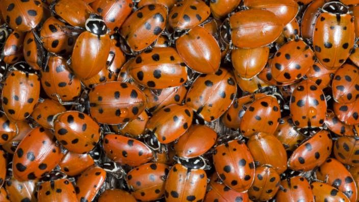 HIPPODAMIA CONVERGENS Hibernating Ladybirds Hippodamia convergens mass California USA PUBLICATI
