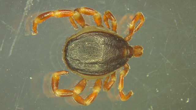 Hyalomma-Zecke unter einem Mikroskop