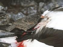 Sharp-beaked Ground Finch - that has developed