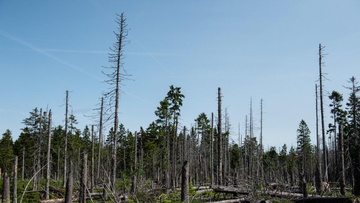 Wie der Borkenkäfer hilft, den neuen Urwald aufzubauen