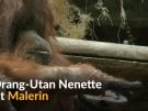Orang-Utan Nenette malt Bilder (Vorschaubild)