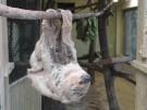 Das älteste Faultier der Welt kommt aus Halle (Vorschaubild)