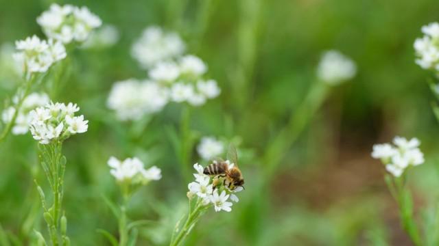 Pilotprojekt 'Mehr Bienen für Berlin'