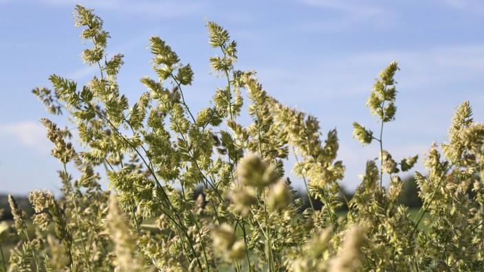 Gräserblüte *** Grass flower PUBLICATIONxINxGERxSUIxAUTxHUNxONLY 1065511242