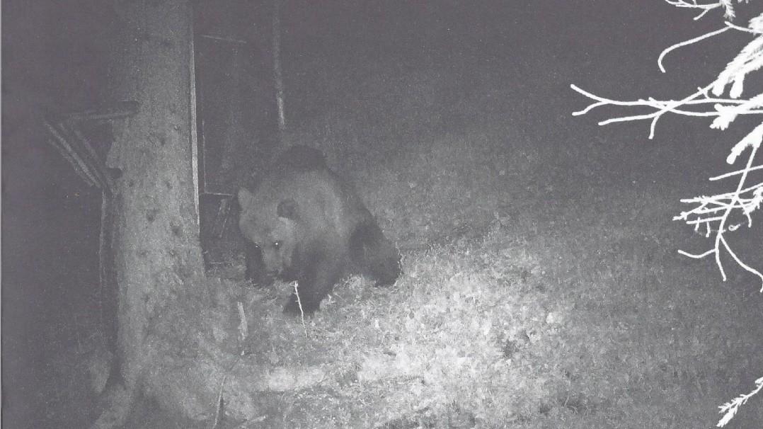 Garmisch-Partenkirchen: Der Bär ist wieder da