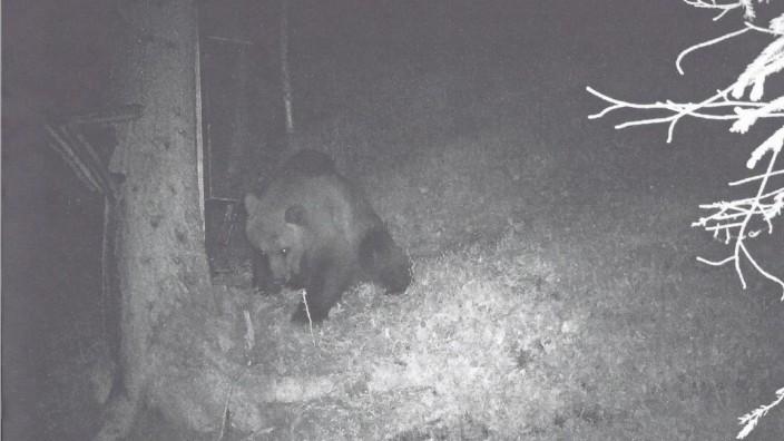 In Reutte in Tirol lief ein Jungbär in die Fotofalle eines Jägers.