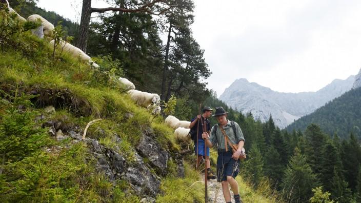 Schafabtrieb in Mittenwald