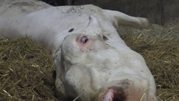 Eine tote Kuh in einem Milchviehbetrieb im Allgäu. Nun ermittelt die Staatsanwaltschaft Memmingen.