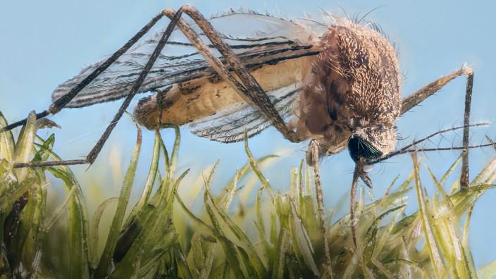 Hausmuecke Gemeine Stechmuecke Culex pipiens sitzt auf einem Moospolster und saugt Wassertroepfc