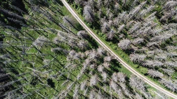 Waldsterben - Vom Borkenkäfer befallene Fichten im Harz