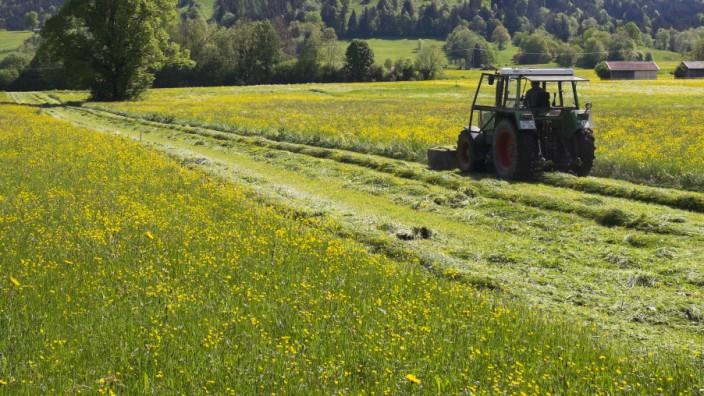 Traktor mäht Blumenwiese im Frühling hinten der Keilkopf Lenggries Isarwinkel Oberbayern Bayern