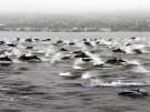 Delfine begleiten Surfer (Vorschaubild)