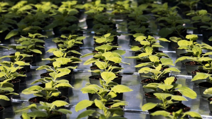Ebola-Forschung, Planatage, Wirkstoff, der aus einer Tabakpflanze gewonnen wird, USA