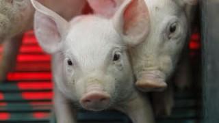 Schweine-Kastration