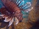 Zypern will Feuerfisch-Invasion kulinarisch bekämpfen (Vorschaubild)