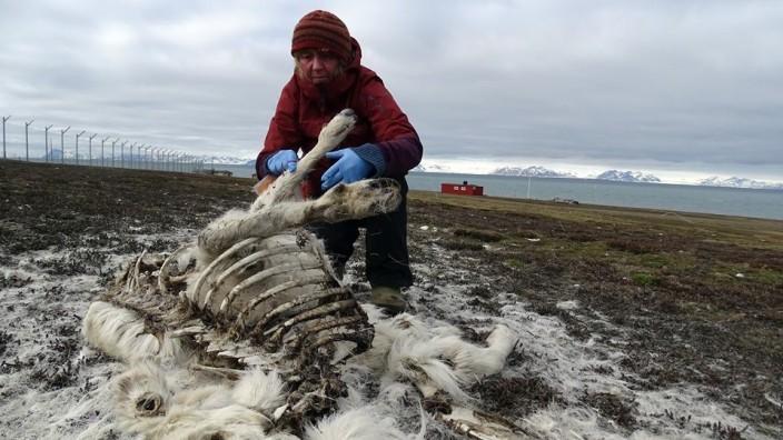 Verendetes Rentier auf Spitzbergen