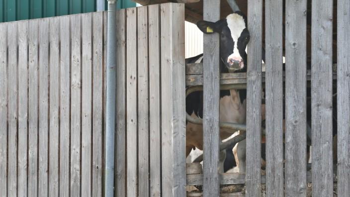 Hohe Kälbersterblichkeit in umstrittenem Milchviehbetrieb