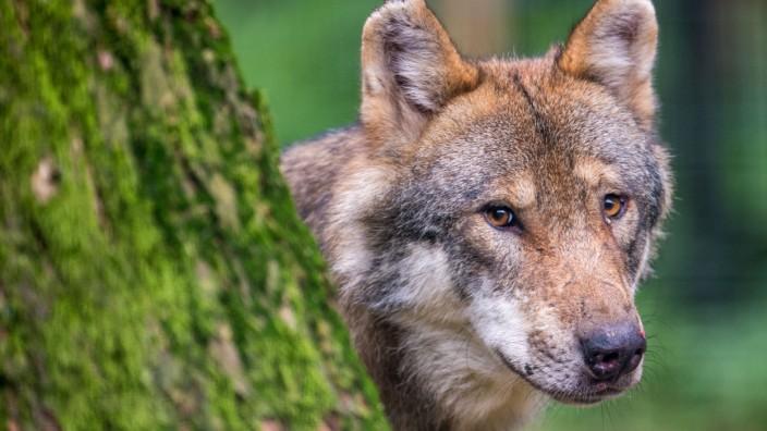 Der Wolf auf der Alm: Kaniber fordert Neubewertung