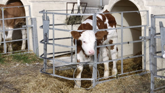 Neben der ersten Milch ist die Hygiene in den Kälber-Boxen entscheidend für den Gesundheitszustand der Jungtiere.