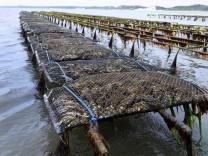 Riesenauster Riesen Auster Pazifische Auster Japanische Auster Pazifische Felsenauster Crassost