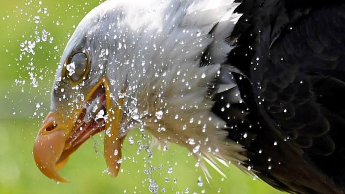 Weißkopfseeadler im kühlen Bad