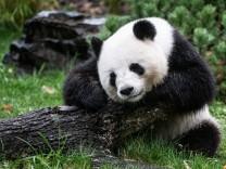 Pandabärin Meng-Meng
