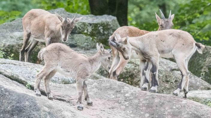 Alpensteinbock Kitze Tierpark Hellabrunn München