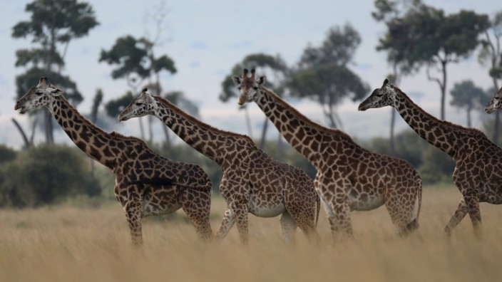 Giraffes are seen in Masai Mara National Reserve