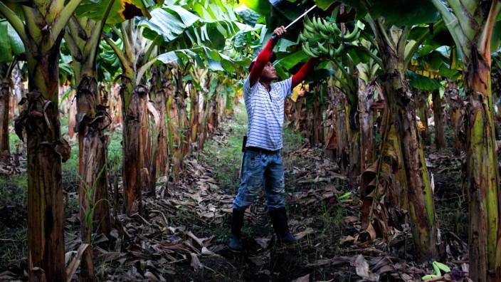 A man cuts a bunch of bananas at a banana plantation at the Ometepe Island