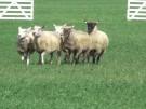 """Schafehüten extrem: """"Europameisterschaft der Hütehunde"""" (Vorschaubild)"""