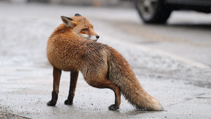 Andechs: Fuchs greift Kinder an