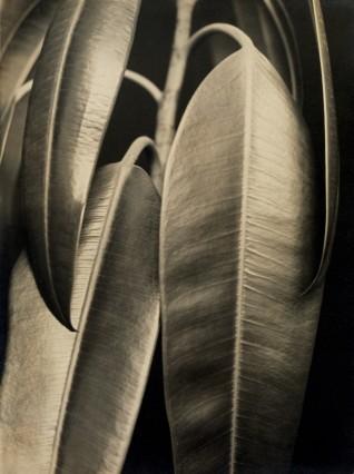 Ficus elastica, 1926-28