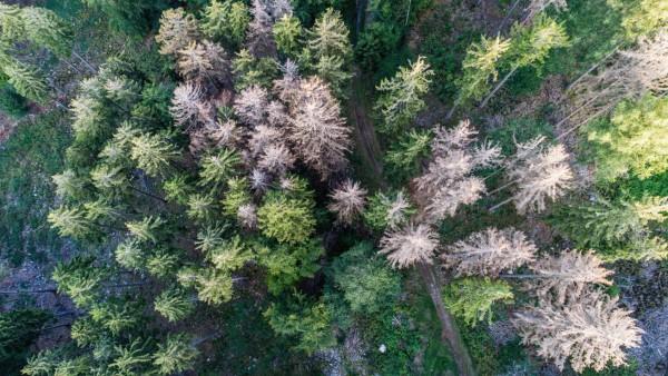 Waldsterben in Deutschland 19 08 2019 Oberursel Hessen Abgestorbene Fichten stehen im Wald nahe