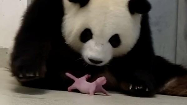 Panda Meng-Meng looks at one of her newborn twin cubs at Berlin Zoo