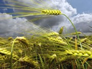 EU-Agrarsubventionen, Wintergerste, Foto: dpa