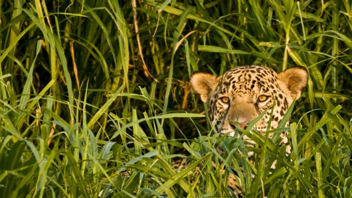 Ein Jaguar im Pantanal in Brasilien