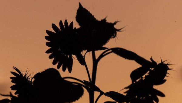 Soonenblume