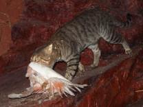 Katzen in Australien gefährden heimische Arten; Katzen in Australien gefährden heimische Arten