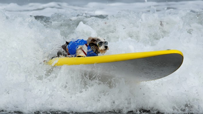 A small dog competes in the 14th annual Helen Woodward Animal Center 'Surf-A-Thon' where  more than 70 dogs competed in five different weight classes for 'Top Surf Dog 2019' in Del Mar, California
