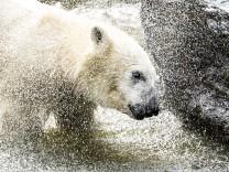 Eisbärenkind Hertha hat kritische Phase überwunden
