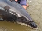 Chile: Gestrandete Delfine gerettet (Vorschaubild)